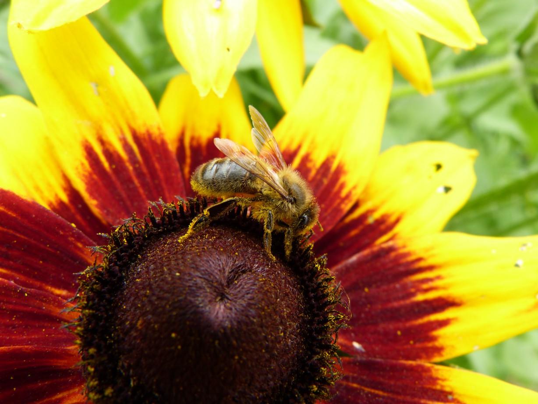 miód, słonecznik, pszczoła